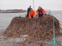 From the Sea to the Pump: Is Kelp a Viable Biofuel?