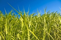 Biofuel & Biomaterial Crops: We Might Be Doing It Wrong